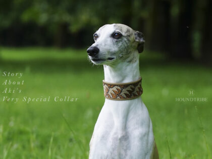 Amazing Story about one very special Whippet Collar