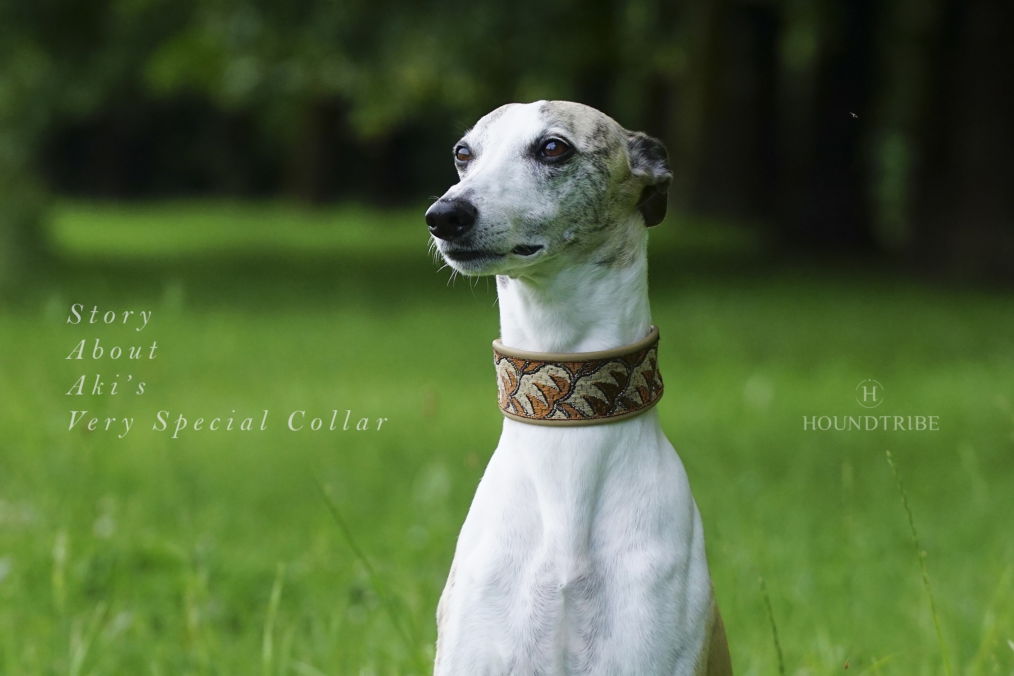 Aki's very special whippet collar